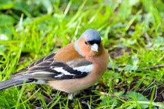Chaffinch bird, Fringílla coélebs. Royalty Free Stock Images