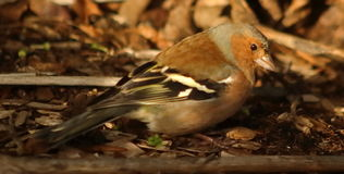 Chaffinch bird looking for food. A chaffinch foraging for seeds in a forest floor Stock Photos