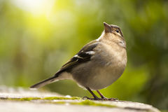 Chaffinch Bird Looking Up. With Blurred Bokeh Green Background stock photos