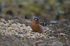 Chaffinch bird stock photos