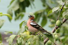 Chaffinch bird singing Royalty Free Stock Photos