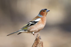 Chaffinch bird singing Stock Images