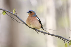 Chaffinch bird singing Royalty Free Stock Photo