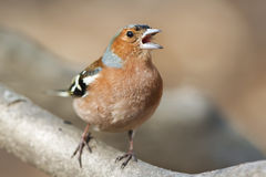 Chaffinch bird singing. On branch in spring song royalty free stock photo