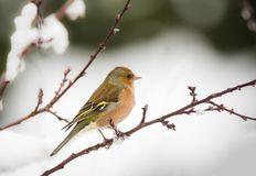 Chaffinch bird sitting on a snow covered tree Royalty Free Stock Photography