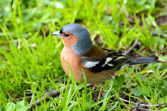 Chaffinch bird, wild animals. Stock Image
