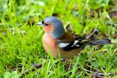 Chaffinch bird, wild animals. Stock Image