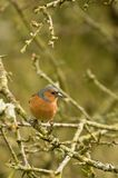 Chaffinch on branch Royalty Free Stock Photo
