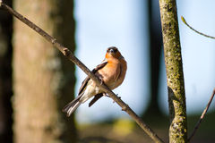 Chaffinch on branch Royalty Free Stock Photography
