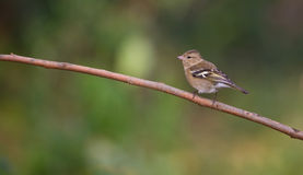 Chaffinch on branch Stock Photo