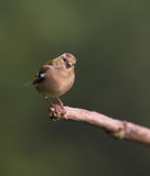 Chaffinch on branch Stock Images