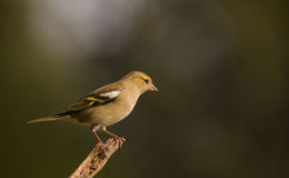 Chaffinch on branch Stock Photography