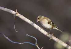 Chaffinch on branch Royalty Free Stock Image