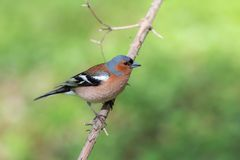 Chaffinch on a branch. On a green background royalty free stock image