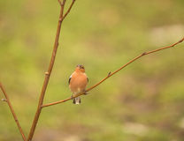 Chaffinch on a branch Royalty Free Stock Images