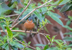 Chaffinch on a branch. Stock Image