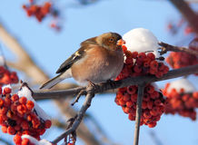 Chaffinch on branch of mountain ash Stock Photo