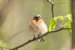 Chaffinch on a branch. The picture shows a chaffinch on a branch Royalty Free Stock Photos