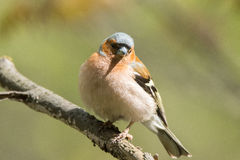 Chaffinch on a branch. The picture shows a chaffinch on a branch Stock Photo