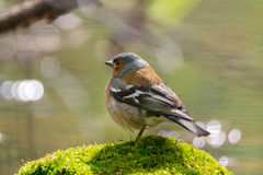 Chaffinch on a branch. The picture shows a chaffinch on a branch Royalty Free Stock Photography