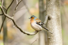 Chaffinch on a branch. The picture shows a chaffinch on a branch Stock Photos