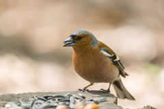 Chaffinch on a branch. The picture shows a chaffinch on a branch Stock Images