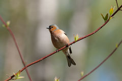 Chaffinch on a branch of spring tree Stock Photo