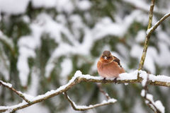 Chaffinch on a branch Stock Photo