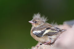 Chaffinch chick. Chaffinch (Fringilla coelebs) chick sits on pile of gravel after leaving nest Stock Photography