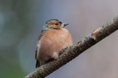 Chaffinch close up Royalty Free Stock Photo