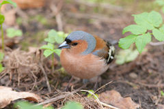 Chaffinch close up Stock Images