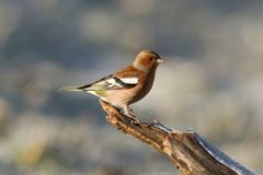 Chaffinch, coelebs de Fringilla photo stock