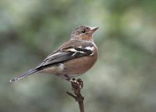 Chaffinch - coelebs del Fringilla Immagini Stock Libere da Diritti