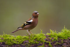 Chaffinch (coelebs do Fringilla) Imagem de Stock Royalty Free