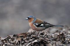 chaffinch coelebs fringilla Στοκ εικόνα με δικαίωμα ελεύθερης χρήσης