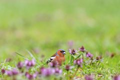Chaffinch collects insects among pink flowers. Singing birds, spring singing, beautiful picture Royalty Free Stock Image