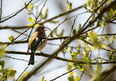 Chaffinch Royalty Free Stock Photography