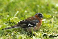 Chaffinch commun Photographie stock