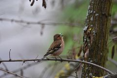 Chaffinch comum Fotos de Stock Royalty Free