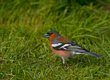 Chaffinch comum Imagens de Stock Royalty Free