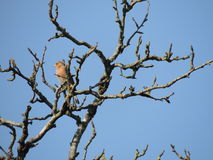 Chaffinch comum (coelebs do Fringilla) em uma árvore foto de stock royalty free
