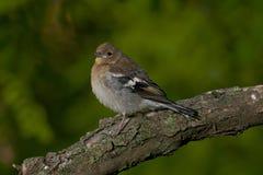 Chaffinch comune (coelebs del Fringilla) Immagini Stock