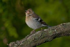 Chaffinch comune (coelebs del Fringilla) Fotografia Stock