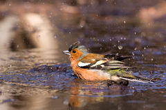 Chaffinch dans l'eau Photo stock