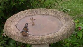 Chaffinch drinking from a birdbath. stock video