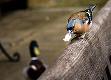 A Chaffinch eating  Royalty Free Stock Photography