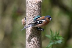 Chaffinch eating Royalty Free Stock Photo