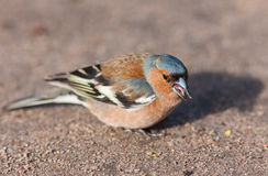 Chaffinch eating seeds Royalty Free Stock Images