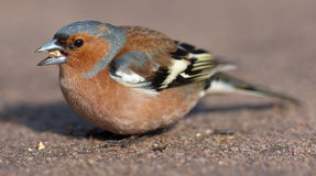 The chaffinch eats Stock Photography