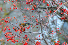 Chaffinch eats the berries Royalty Free Stock Photos
